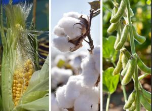Corn, Cotton and Soybean