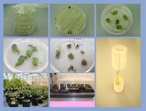 Microbial vector, plant tissue culture inoculation, selective media and grow out are routine steps in genetic engineering of plants