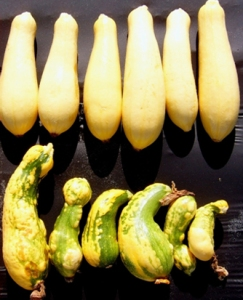 Virus resistant and non-resistant squash