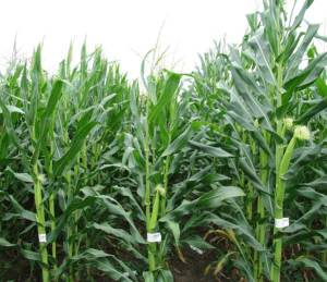 Two inbred lines (left and center rows) of corn when crossed produce a vigorous hybrid (on right)
