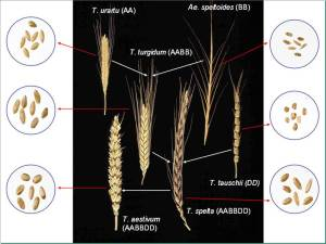 Modern wheat is a fusion of 3 species and has 6 sets of chromosomes