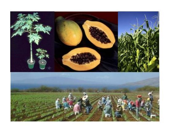 The benefits of GE crops in Maui County are disease free papaya, corn seed breeding farms and employment.