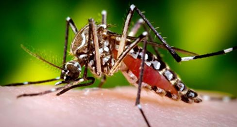 Genetically engineered mosquito
